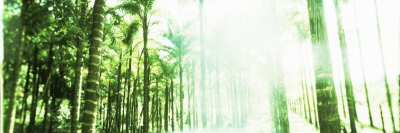 Palm Trees in a Forest, Arenal Region, Costa Rica Photographic Print by  Panoramic Images