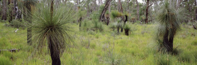 Grasstrees in a Forest, Western Australia, Australia Photographic Print by  Panoramic Images