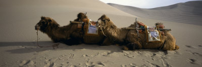 Two Camels Sitting in a Desert, Dunhuang, Jiuquan, Gansu Province, China Photographic Print by  Panoramic Images