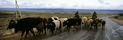 Cattle Being Herded on a Road, Kyrgyzstan Lmina fotogrfica
