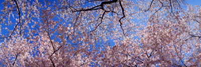 View of Cherry Blossom Trees, Washington State, USA Fotografie-Druck von  Panoramic Images