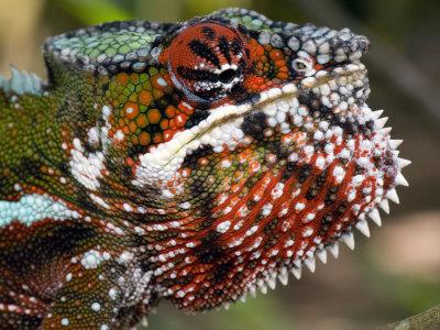 Close-Up of a Panther Chameleon, Andasibe-Mantadia National Park, Madagascar Photographic Print