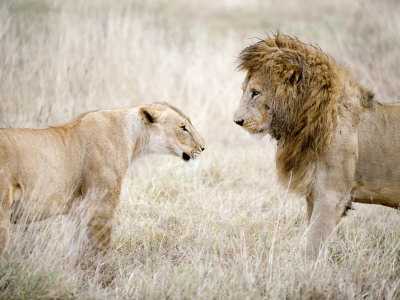 Lion and a Lioness Standing Face to Face in a Forest, Ngorongoro Crater, Ngorongoro, Tanzania Photographic Print