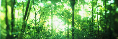 Trees in a Rainforest, Arenal Region, Costa Rica Photographic Print by  Panoramic Images
