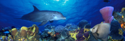 Bottle-Nosed Dolphin and Gray Angelfish on Coral Reef in the Sea Photographic Print by  Panoramic Images