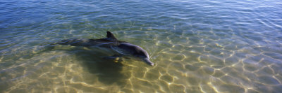 Bottle-Nosed Dolphin in Sea, Monkey Mia, Shark Bay Marine Park, Perth, Western Australia, Australia Photographic Print by  Panoramic Images