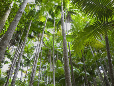 queensland  fraser island  tropical palms in the rainforest area of