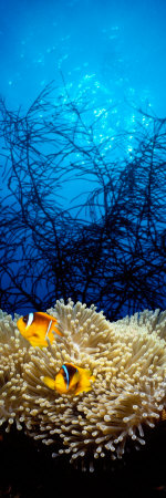 Mat Anemone and Allard's Anemonefish in the Ocean Photographic Print