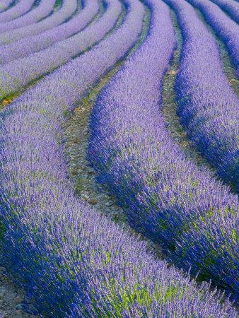 Lavender Field Near Valensole, Provence-Alpes-Cote D'Azur, France Photographic Print by Doug Pearson