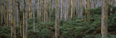 Karri Trees in Forest, Caves Road, Boranup Forest, Leeuwin-Naturaliste National Park, Australia Photographic Print by  Panoramic Images