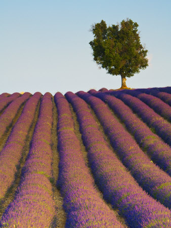 Lavender Field, Provence-Alpes-Cote D'Azur, France Photographic Print