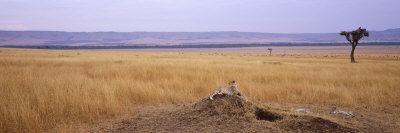 Cheetah Sitting on a Mound Looking Back, Masai Mara National Reserve, Kenya Photographic Print by  Panoramic Images