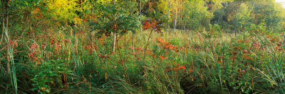 Tall Grass in a Forest, Pokagon State Park, Indiana, USA Photographic Print by  Panoramic Images