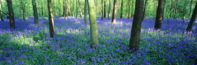 Bluebells in a Forest, Charfield, Gloucestershire, England Photographic Print by  Panoramic Images