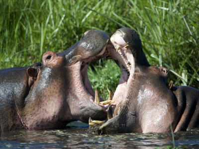 Two Hippopotamuses Fighting in Water, Ngorongoro Crater, Ngorongoro, Tanzania Photographic Print