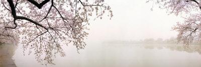 Cerezos en flor a la orilla del lago, Washington DC, EE UU Lámina fotográfica por Panoramic Images,