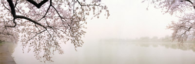 Cherry Blossoms at the Lakeside, Washington DC, USA Photographic Print by  Panoramic Images