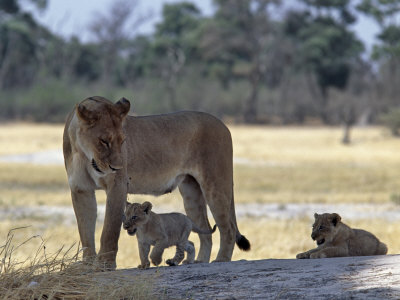 Lioness and Her Two Cubs Play on a Shaded Mound in the Moremi Wildlife Reserve Stampa fotografica di Nigel Pavitt