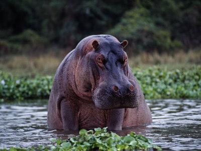 Zambezi River, Hippos Sitting in the Zambezi River, Zambia Photographic Print by John Warburton-lee