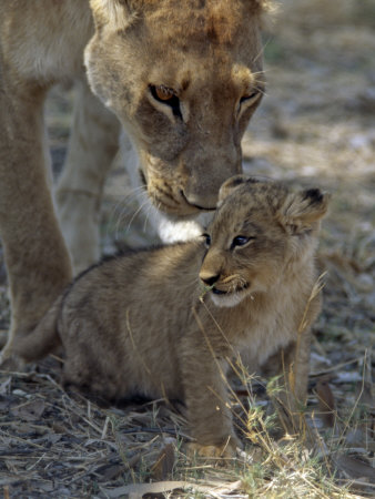 Lioness Keeps a Careful Eye on Her Cub in the Moremi Wildlife Reserve, Okavango Delta, Botswana Stampa fotografica di Nigel Pavitt
