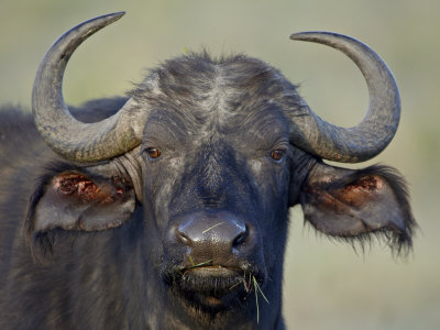 Cape Buffalo, Lake Nakuru National Park Photographic Print by James Hager