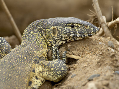 Water Monitor, Kruger National Park, South Africa, Africa Photographic Print by James Hager