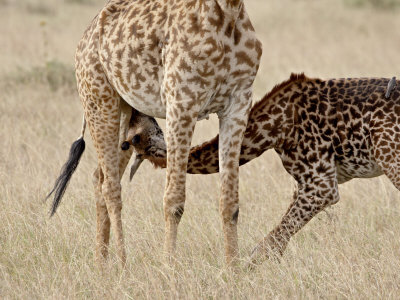 Baby Masai Giraffe Nursing, Masai Mara National Reserve Photographic Print by James Hager