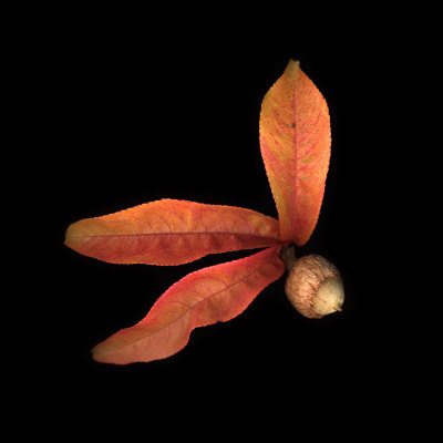 Peach Leaves and Acorn Photographic Print by Diane Miller