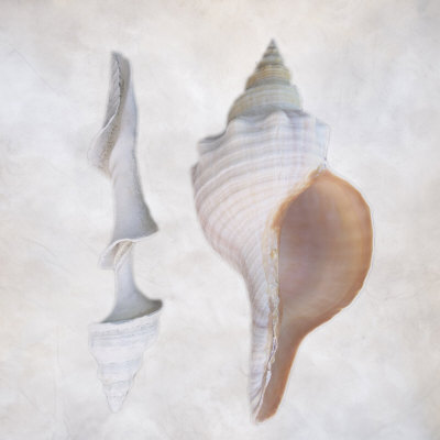 Still Life of Two Shells Photographic Print by Joyce Tenneson
