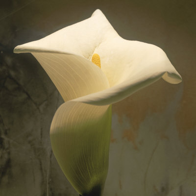 Calla Lily (Zantedeschia Aethiopica), Spring, Oregon, North America Photographic Print by Reynolds Trish