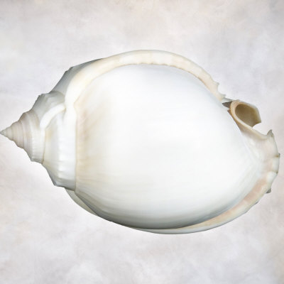 Still Life of a Shell Photographic Print by Joyce Tenneson