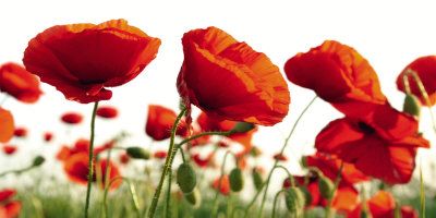 Poppy Blossoms Kunstdruck
