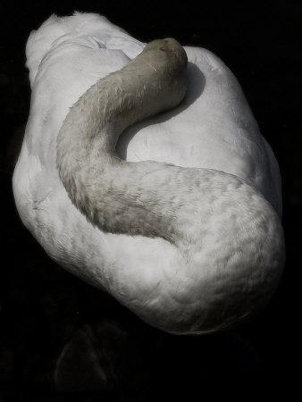 A Sleeping Swan Photographic Print by Abdul Kadir Audah
