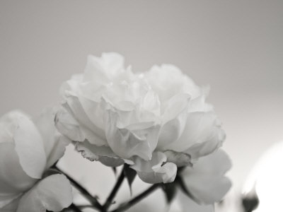 Close-Up of White Roses Photographic Print by Rune Johansen