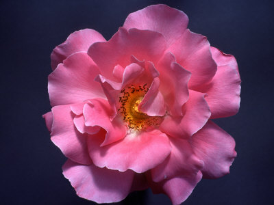 Pink Rose, Close-Up Photographic Print by Diane Miller