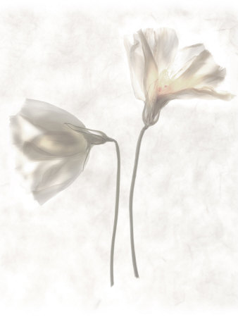Still Life of Two Flowers Photographic Print by Joyce Tenneson