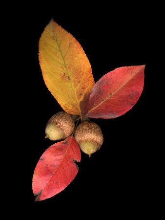 Pear Leaves and Acorns Photographic Print by Diane Miller