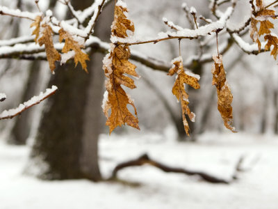 Leaves and Snow, Yosemite, California Photographic Print by Diane Miller
