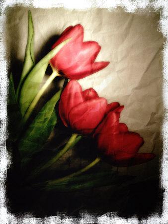 Three Red Tulips Photographic Print by Abdul Kadir Audah