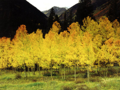 Brilliant Golden Aspen Trees in Rocky Mountains Near Silverton, Southwestern Colorado, USA Photographic Print by Margaret L. Jackson