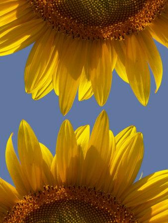 Sunflowers Photographic Print by Abdul Kadir Audah