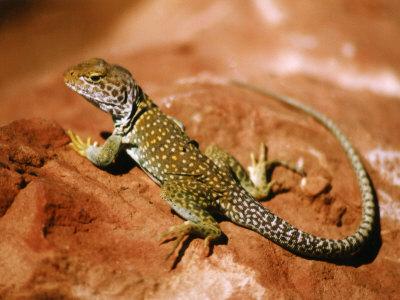 Collared Lizard (Crotaphytus Collaris), Sedona, Arizona, USA Photographic Print by Margaret L. Jackson