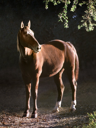 Brown Horse Standing on Trail by Tree Photographic Print by Diane Miller