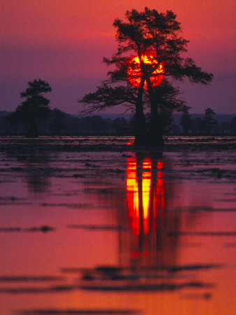 Cypress Swamp at Sunrise, Texas, USA Photographic Print by Diane Miller