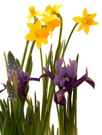 Spring Flowers: Daffodils, Iris and Muscari Photographic Print by Abdul Kadir Audah
