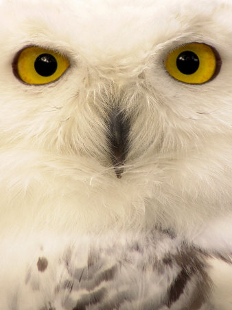 Close-Up of a Snowy Owl Photographic Print by Abdul Kadir Audah