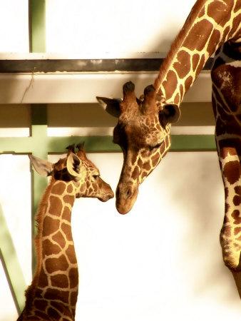 Giraffe Mother and Child Snuggle Photographic Print by Abdul Kadir Audah