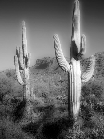 Two Saguaro (Carnegiea Gigantea) Cactii Photographic Print by Diane Miller