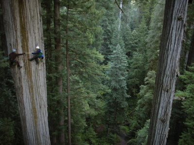 Botanists Take a Core Sample of a 350-Foot Giant Redwood Tree Photographic Print by Michael Nichols