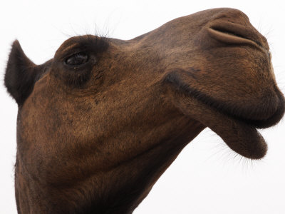 Camel with Oblong Nostrils and Drooping Lips Photographic Print by Randy Olson